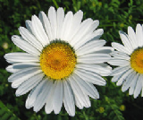 Oxeye Daisy 1000 seeds - FREE POST